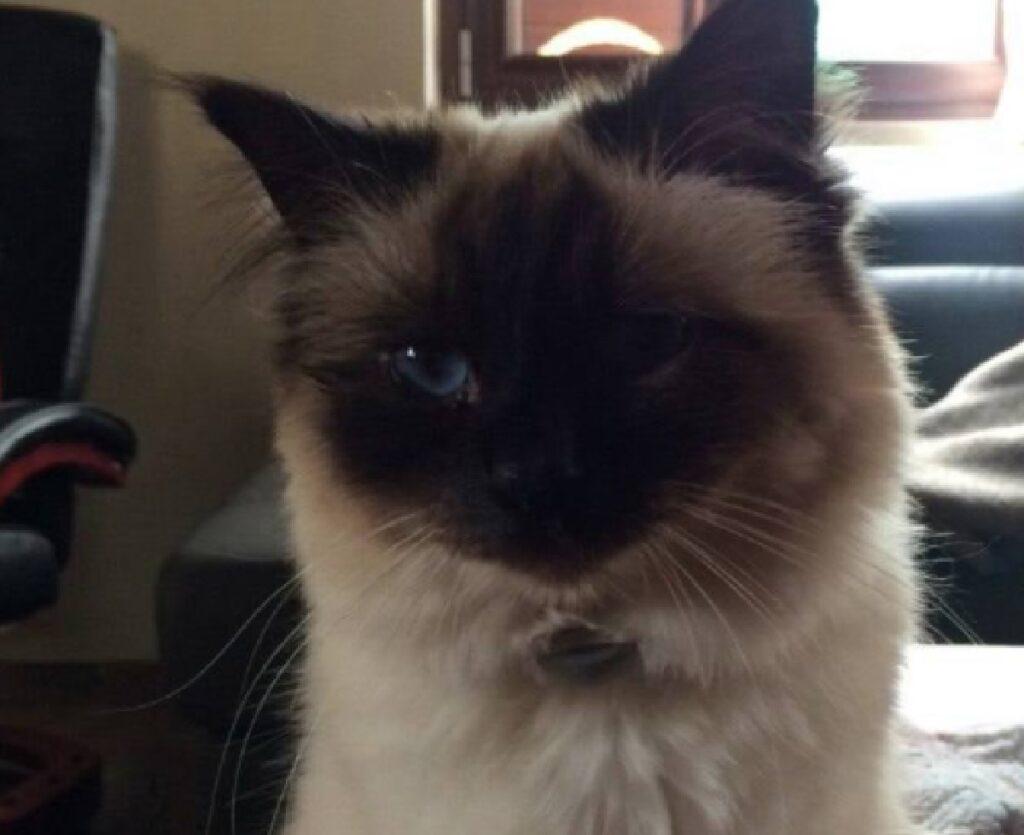 gatto viso colore del caffè