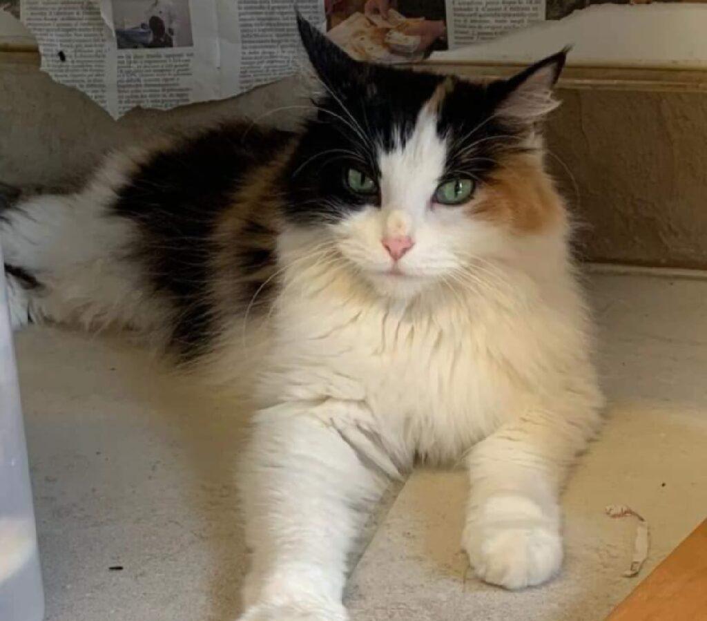 gatta kitty prevalenza colore bianco
