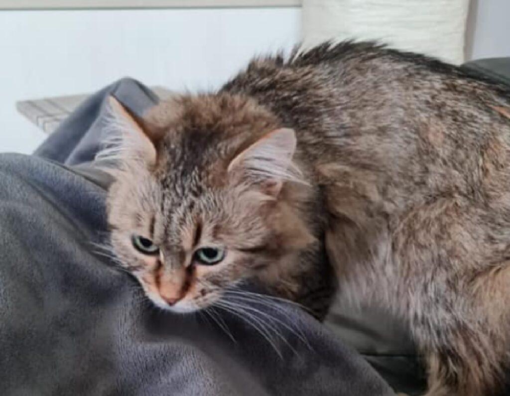 gatto pelo lungo e grigio