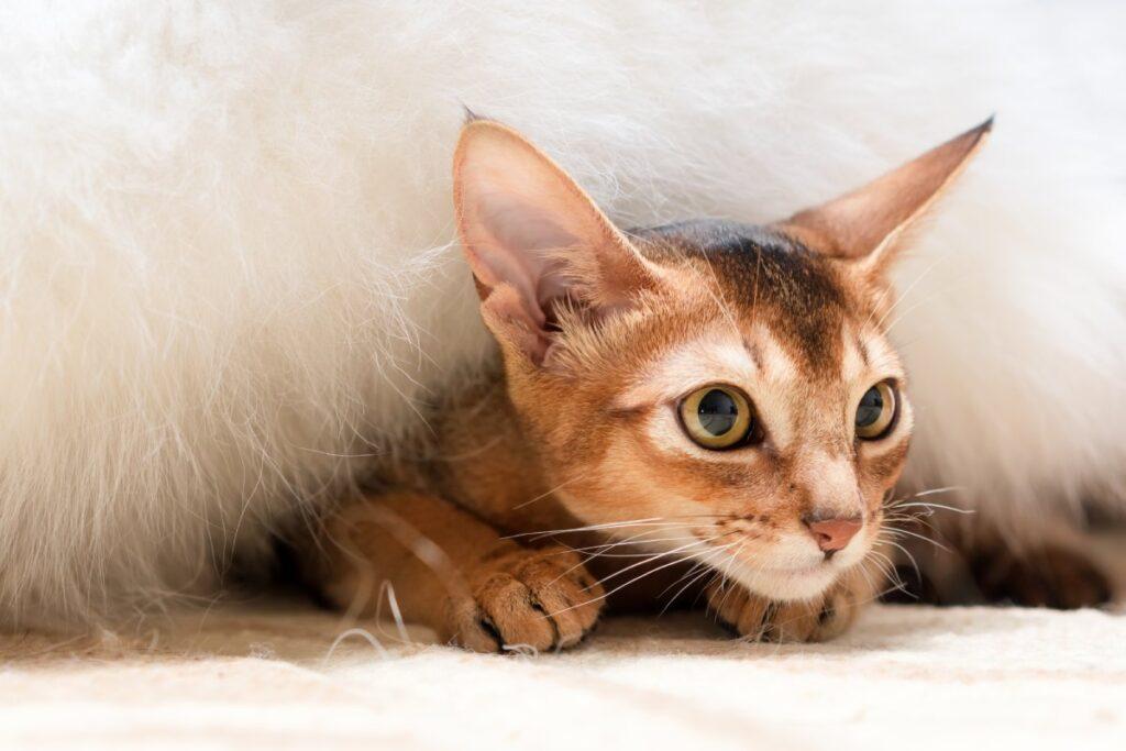 gatto sotto le coperte
