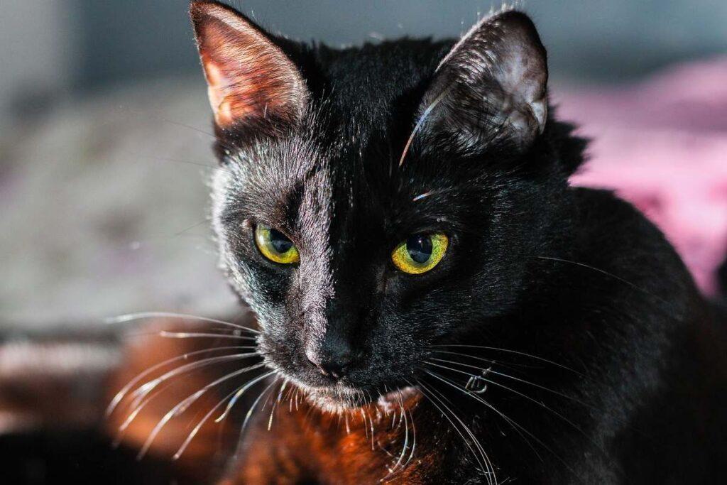 gatto nero arrabbiato