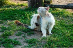 gatto bianco malconcio