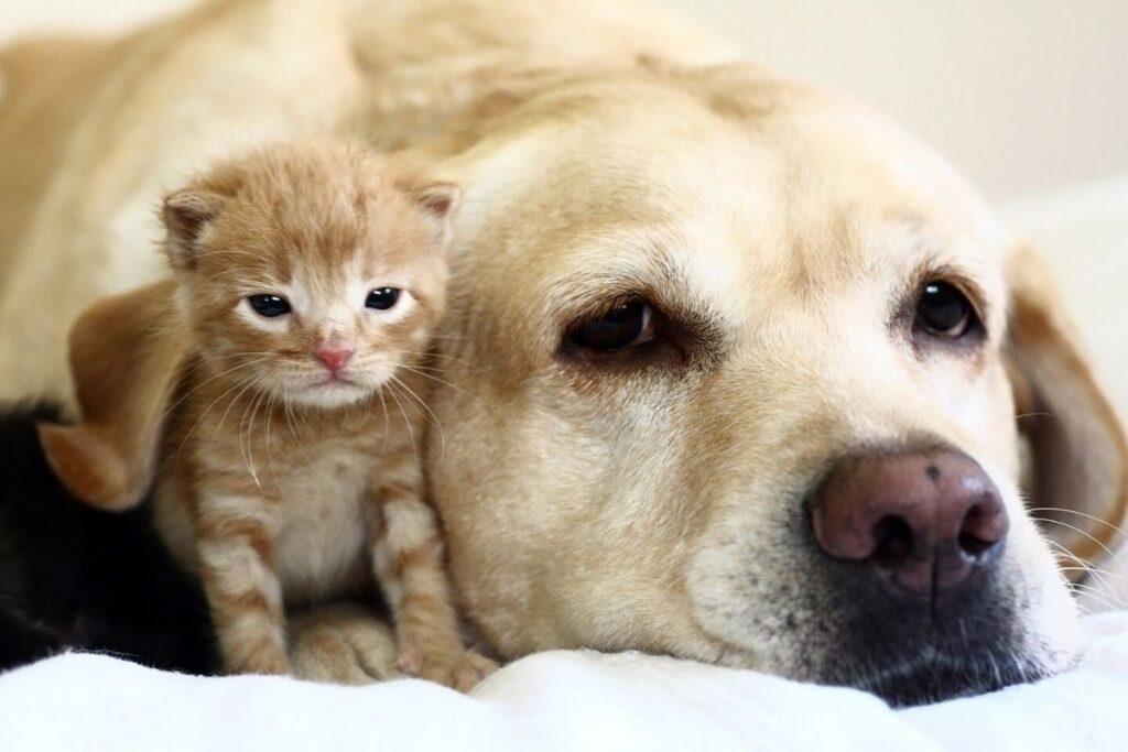 golden retriever con cucciolo di gatto