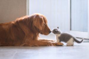 golden retriever con un gattino