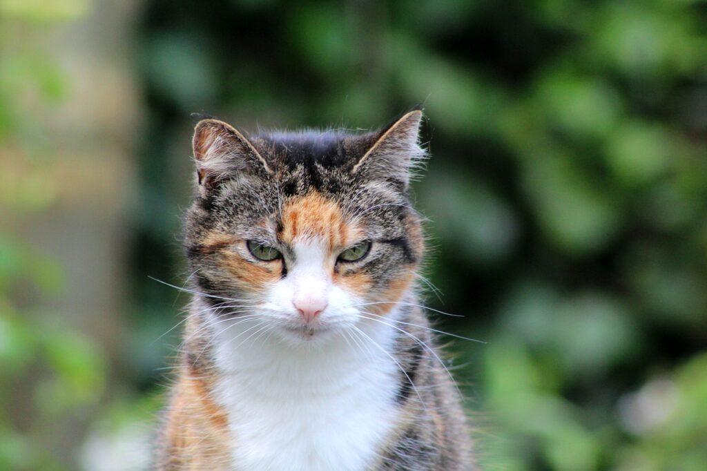 gatto tricolore anziano