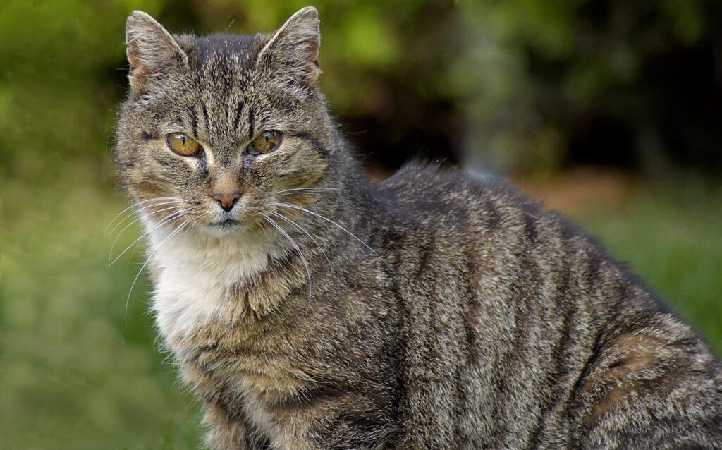 gatto tigrato anziano
