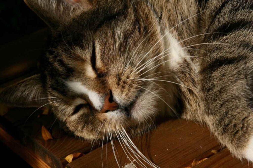 gatto indebolito