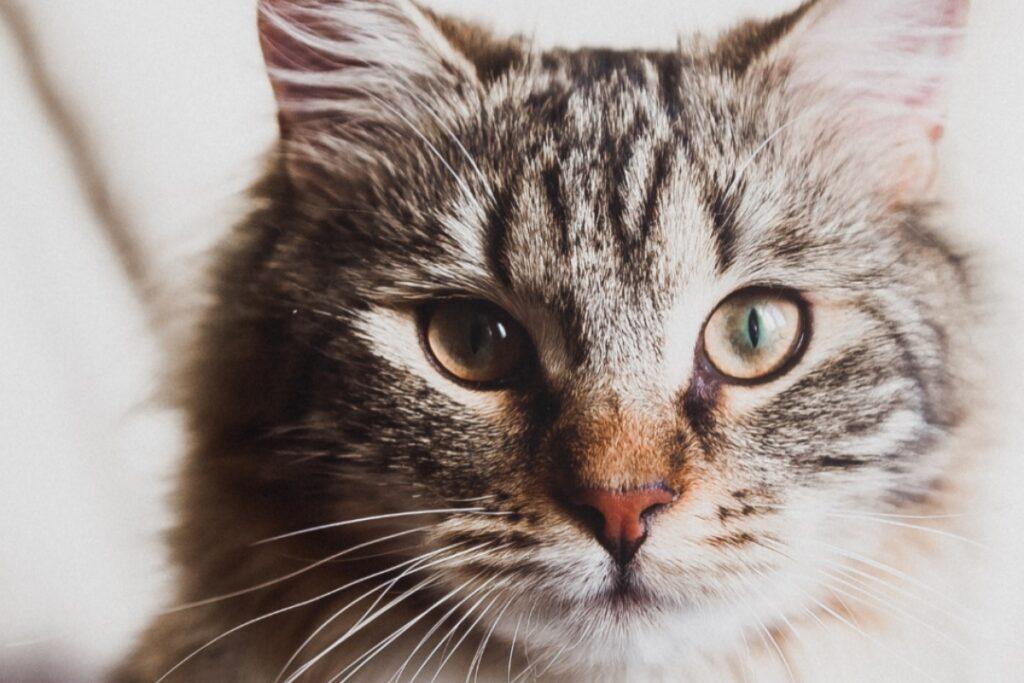 faccia gatto
