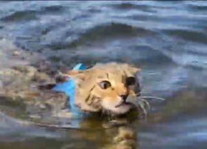 gatto del bengala nuota per la prima volta