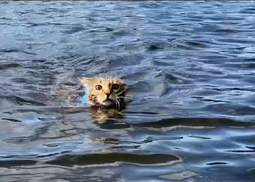 prima volta che il gatto del bengala nuota