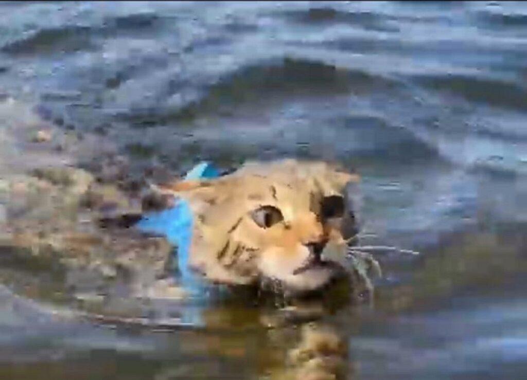 gatto del bengala prima volta in acqua