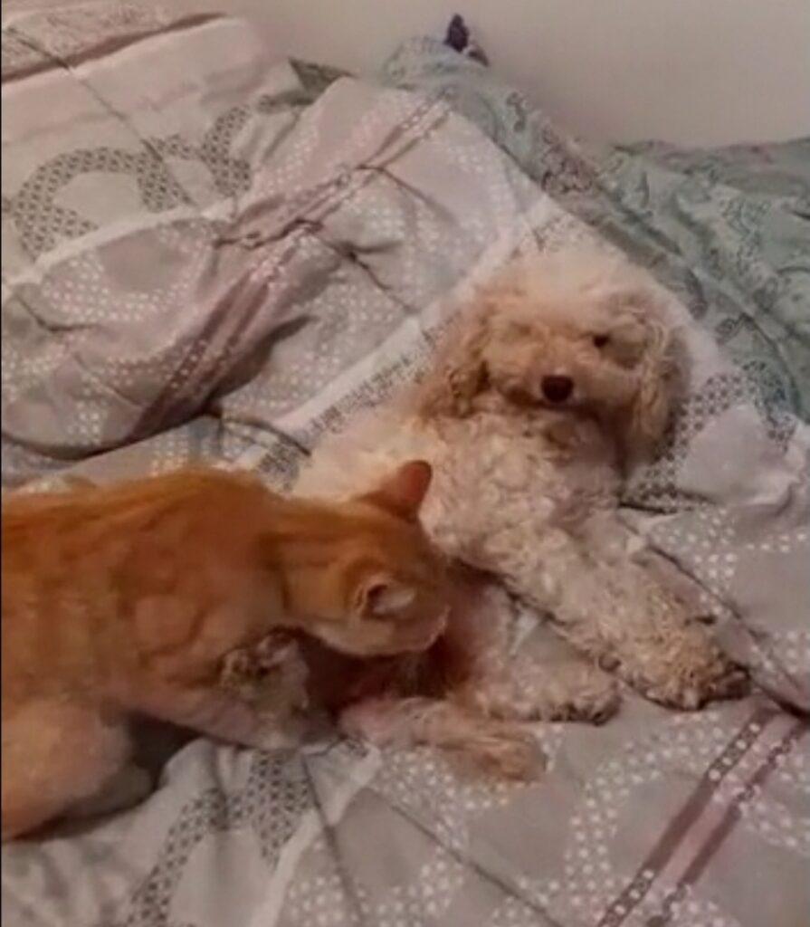 gatto rosso con barboncino
