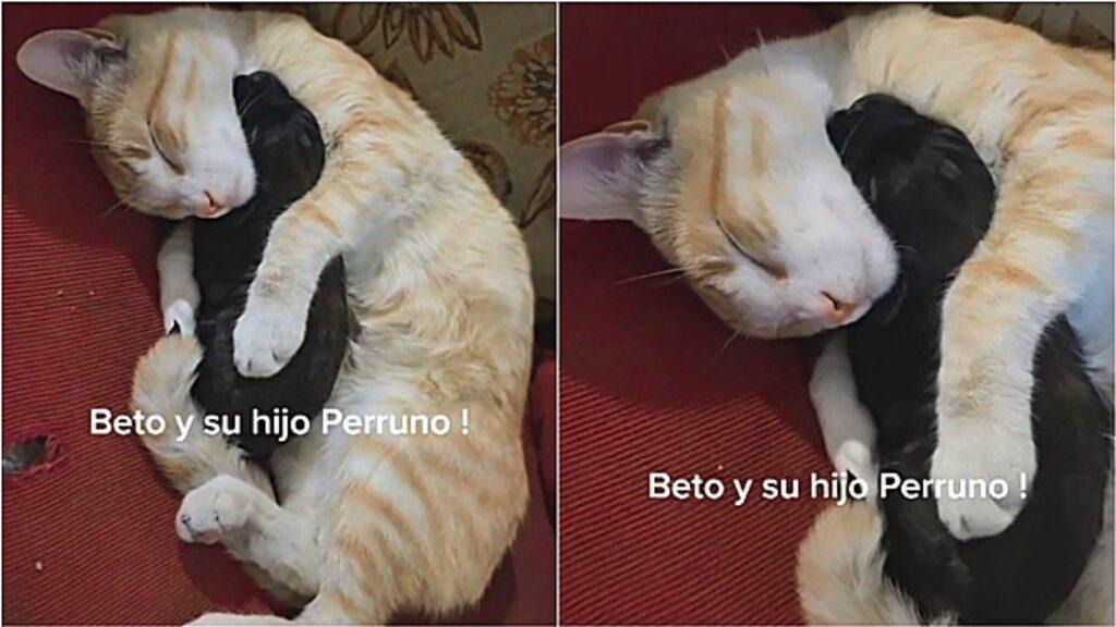 gatto dorme con cucciolo di cane