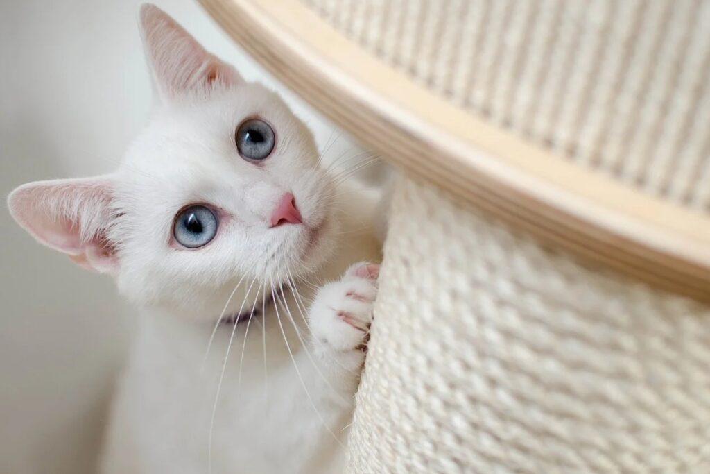 gatta bianca con tiragraffi