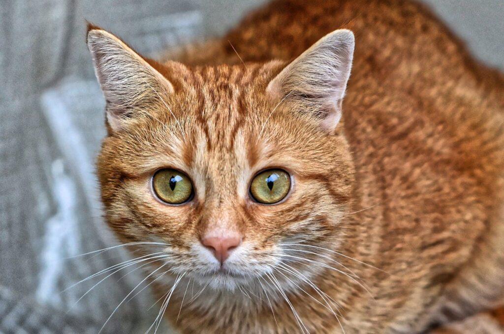 muso di gatto rosso europeo