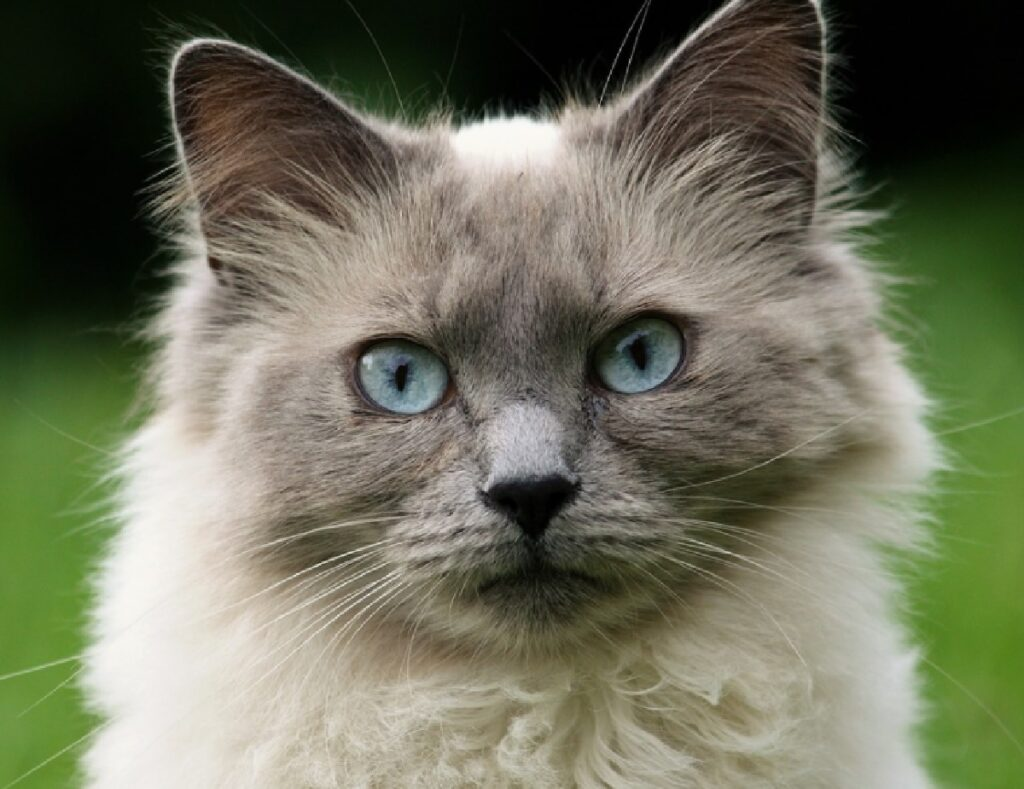 gatto testa grigia pelo lungo