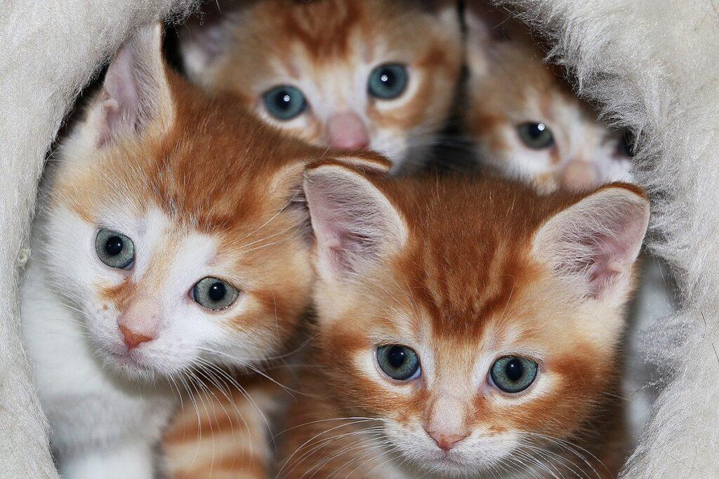 cucciolata di gattini arancioni
