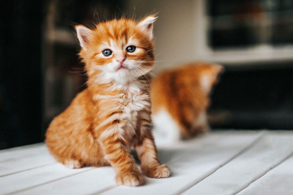 gattino arancione sul tavolo
