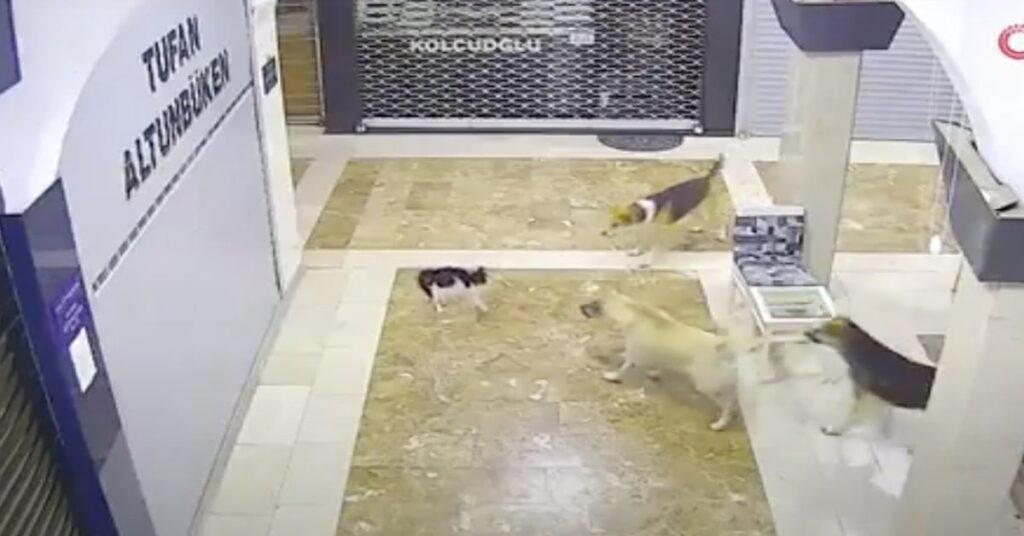 mamma gatta difende il suo gattino in Turchia