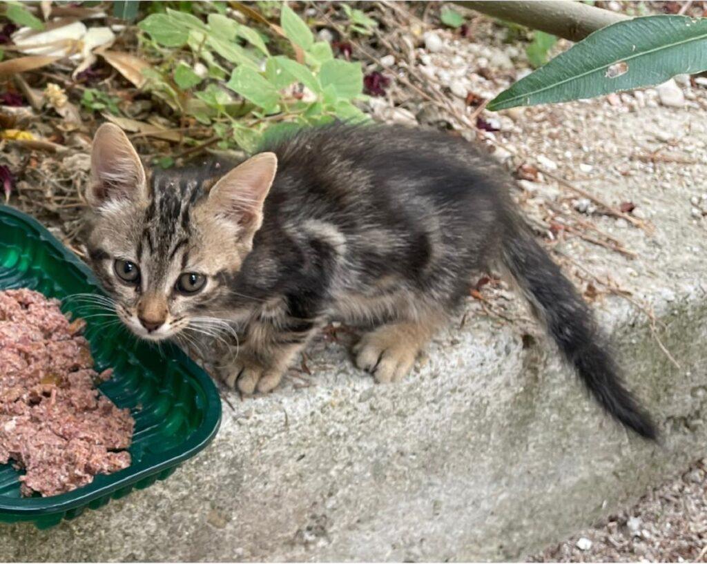 meravigliosa gattina cerca una famiglia