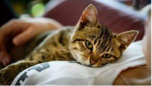 gattino soriano sdraiato