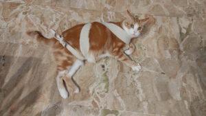 gatto fasciato