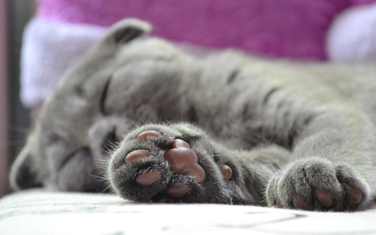zampa grigia del gatto