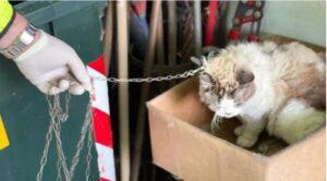 gatta tenuta alla catena