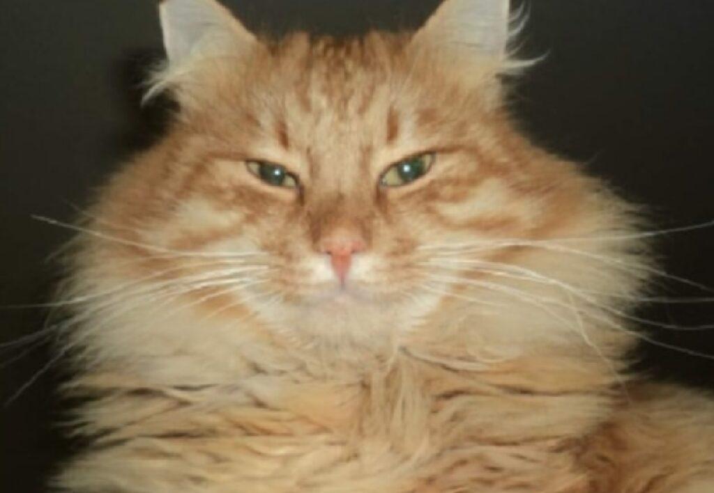 gatto ciccio anziano occhi verdi