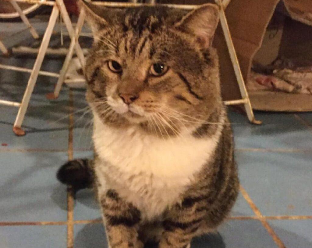 gatto testa tondeggiante
