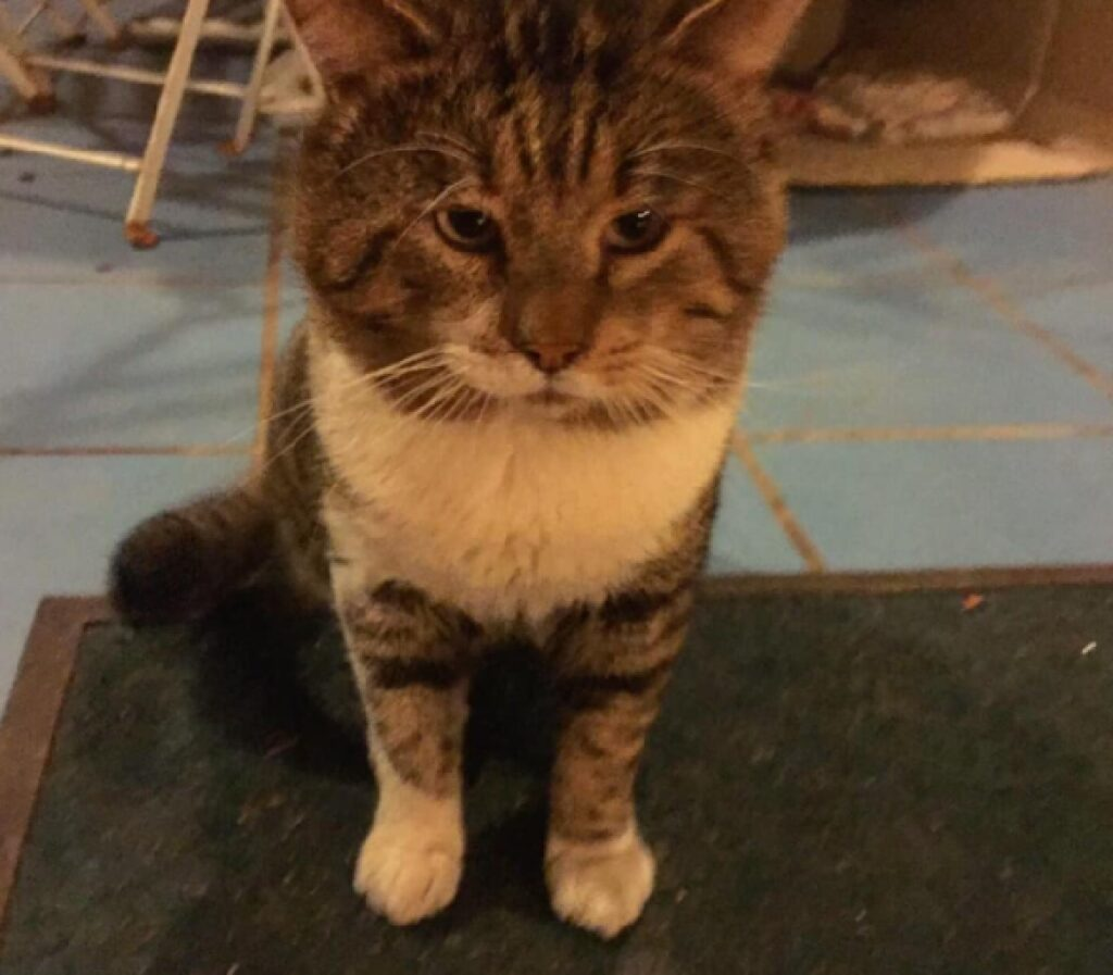 gatto soriano macchietta altezza naso