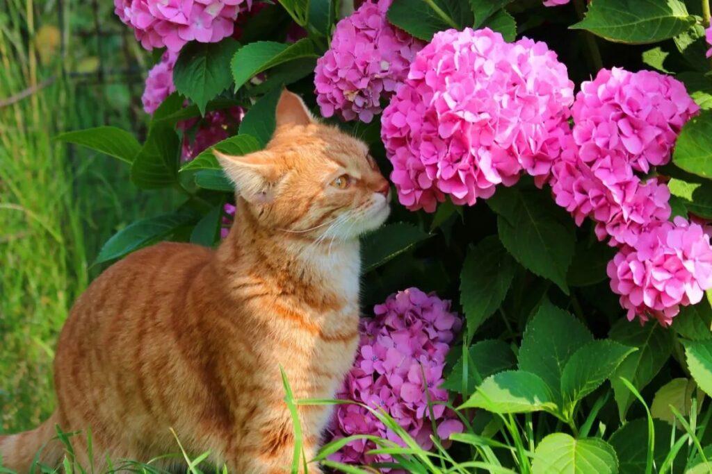 gatto annusa ortensie
