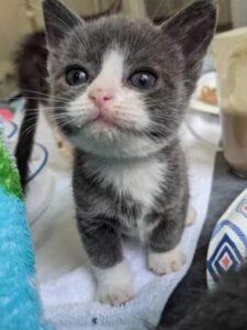 gattino grigio e bianco