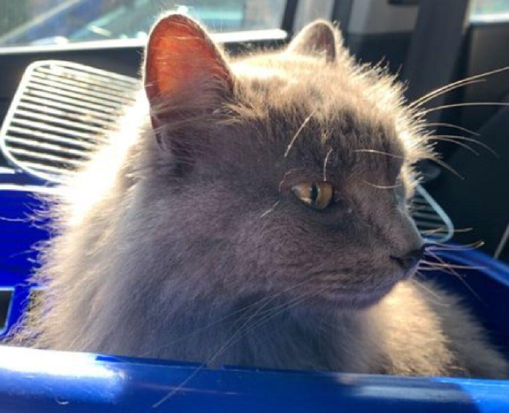 gatto striscia colore blu