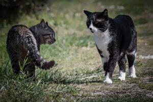 due gatti si guardano in campagna