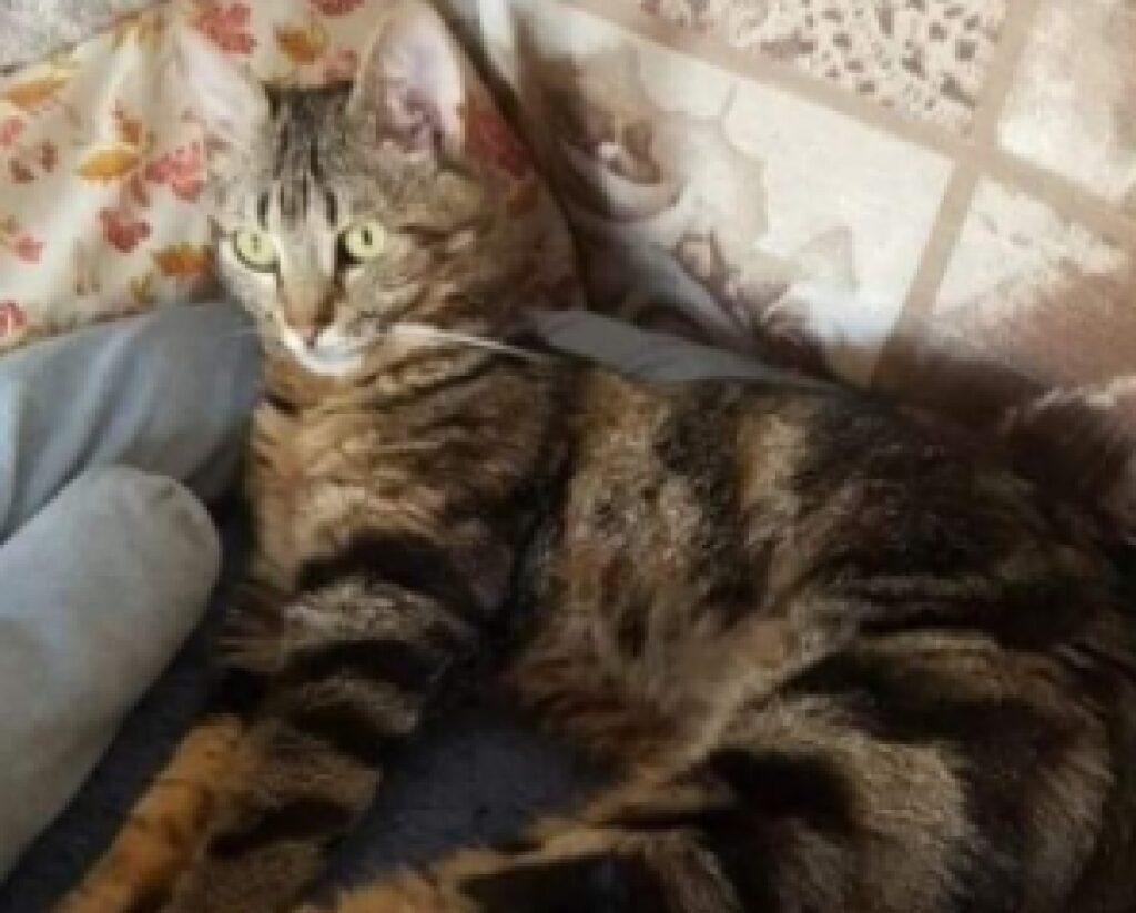 gatta soriano distesa manto marrone