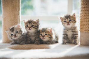 cucciolata di gattini persiani