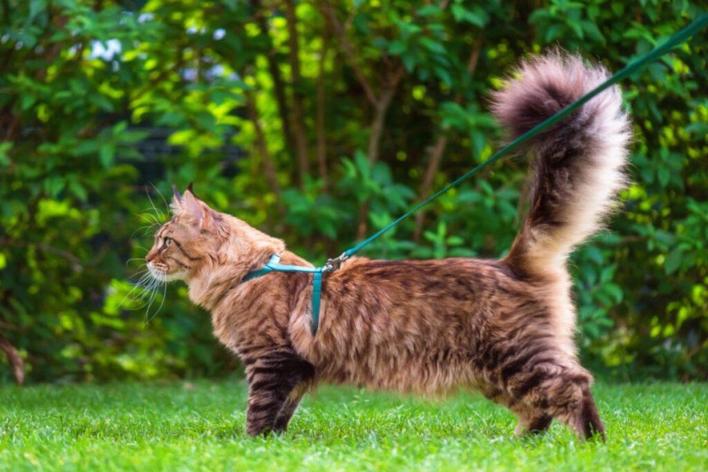 gatto al guinzaglio
