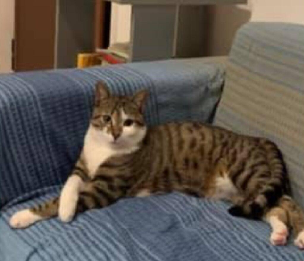 gatto soriano tigrato marrone grigio