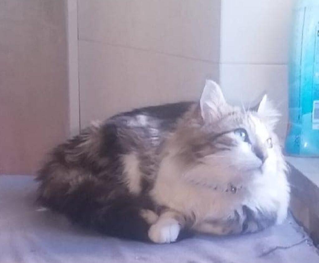 gatto pelo lungo macchie marroni