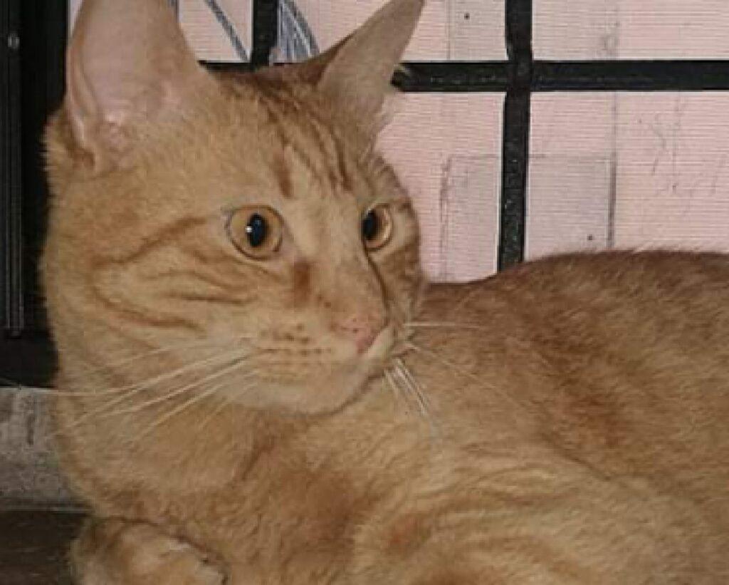 grande gatto rosso occhi gialli