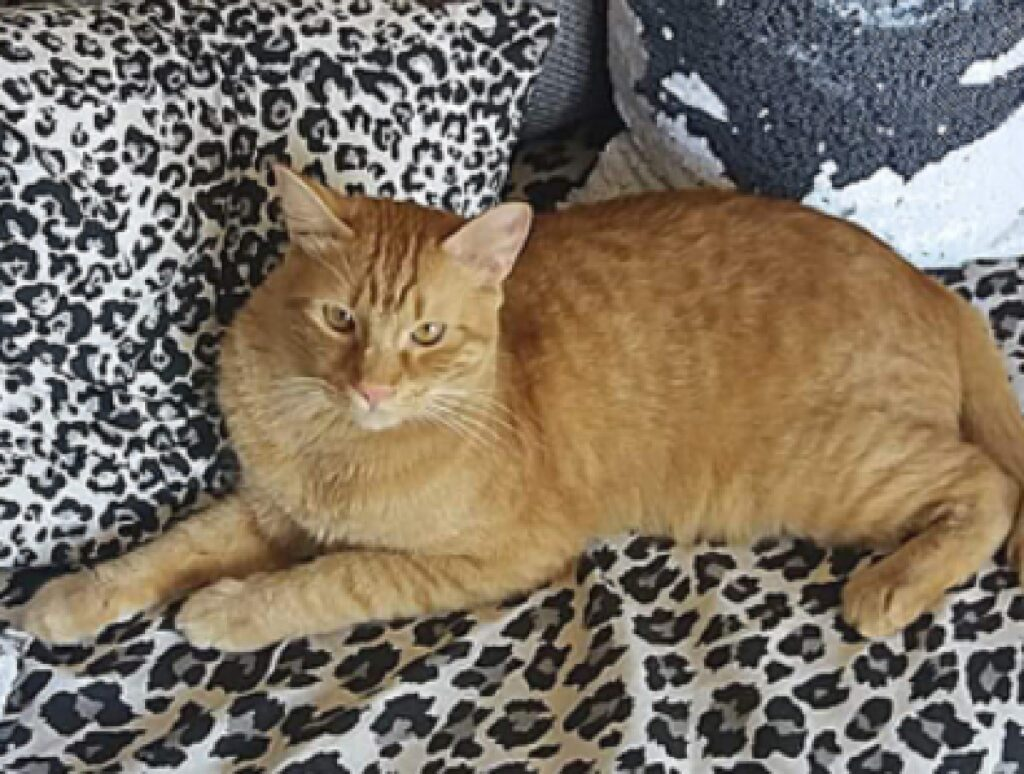 gatto crodino su coperta tigrata