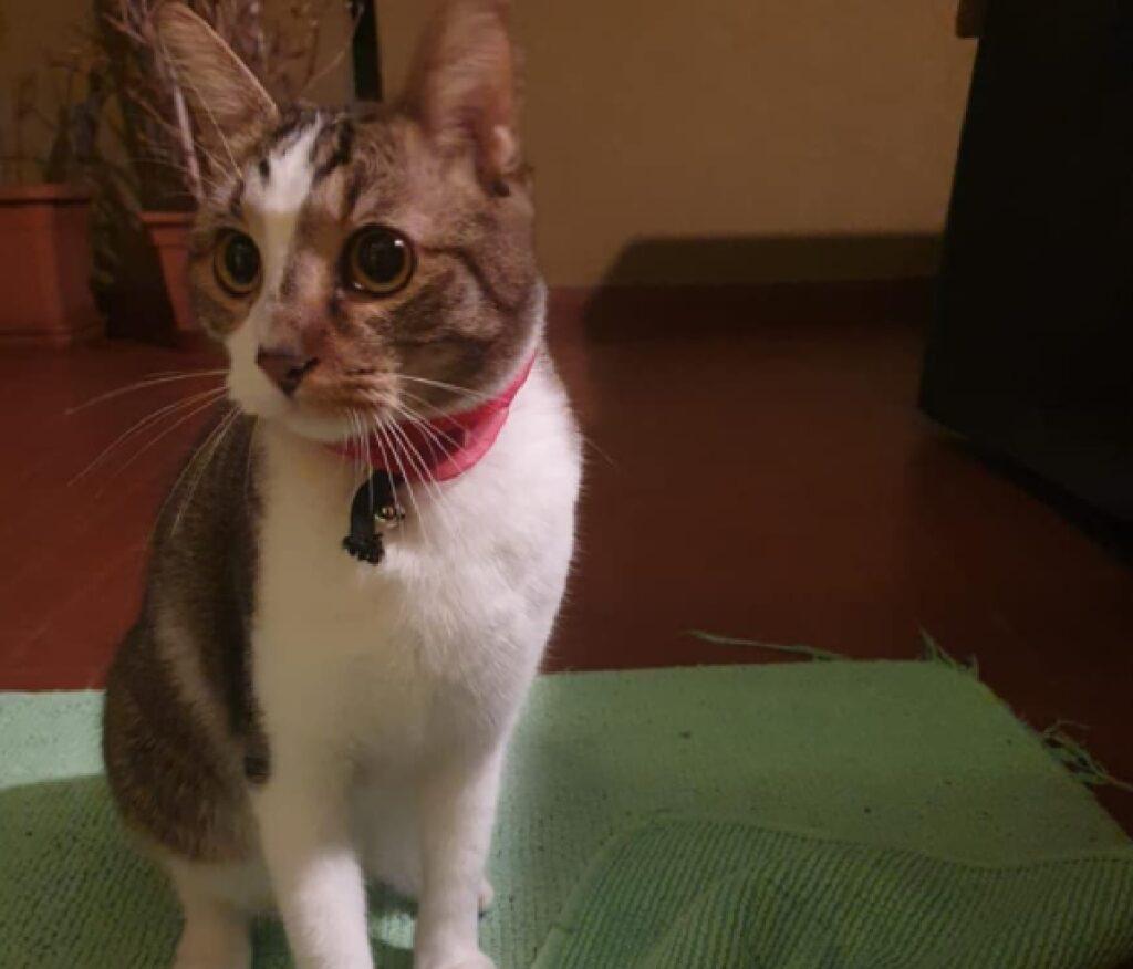 gatto ficco rosa collo