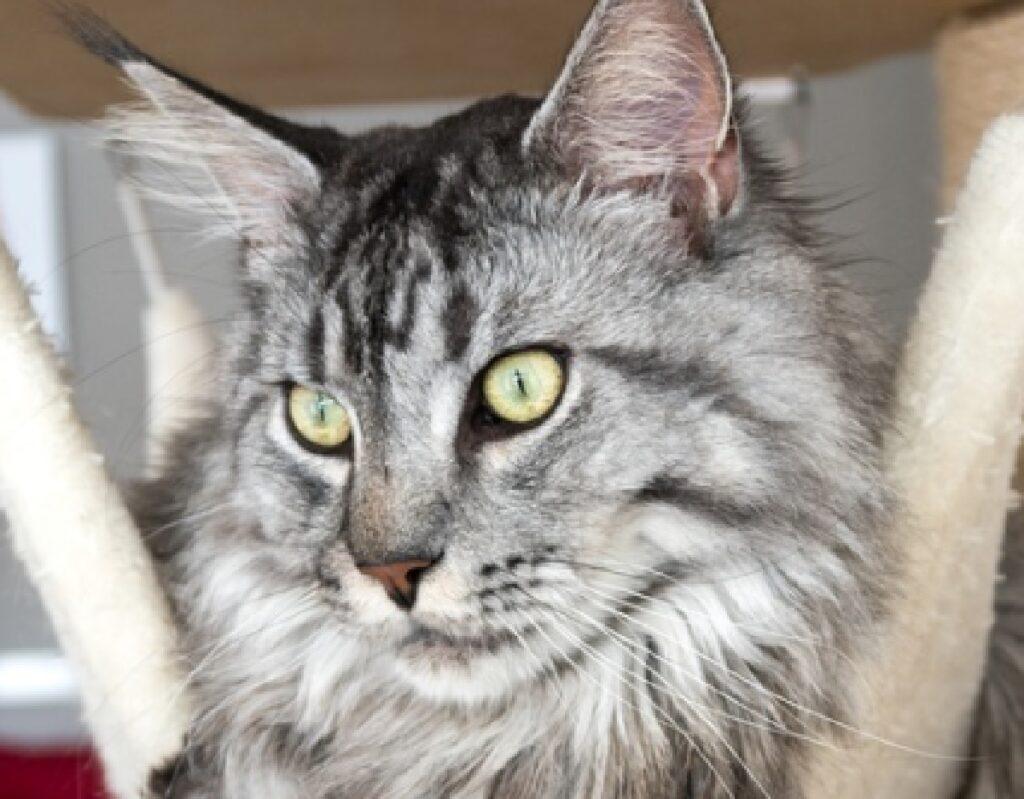 gatto pelo grigio bianco
