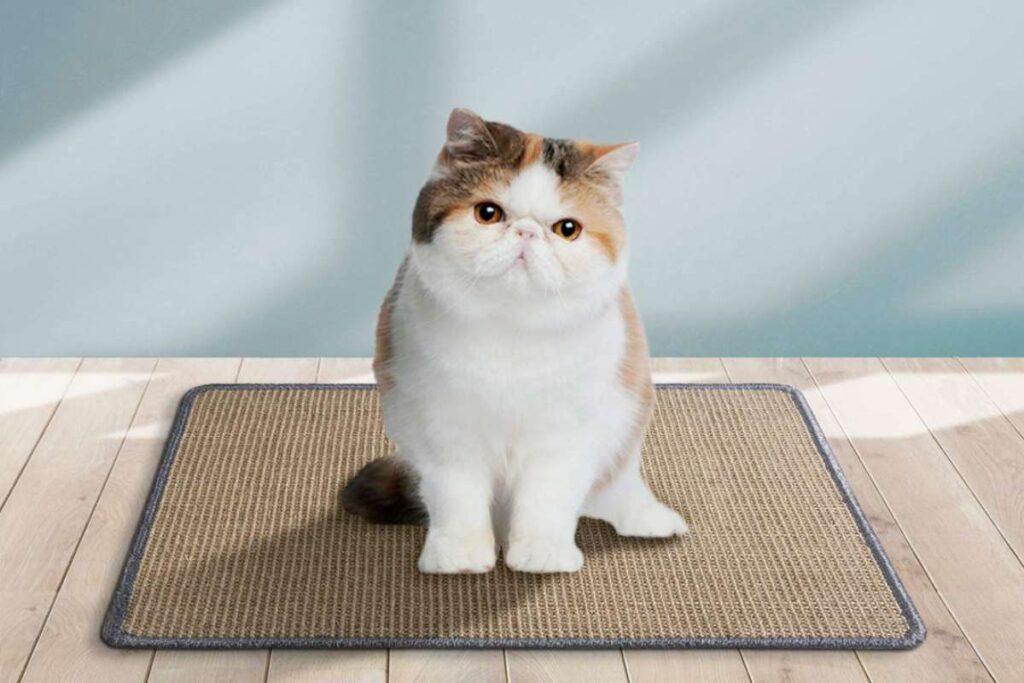 gatto persiano col tappeto tiragraffi