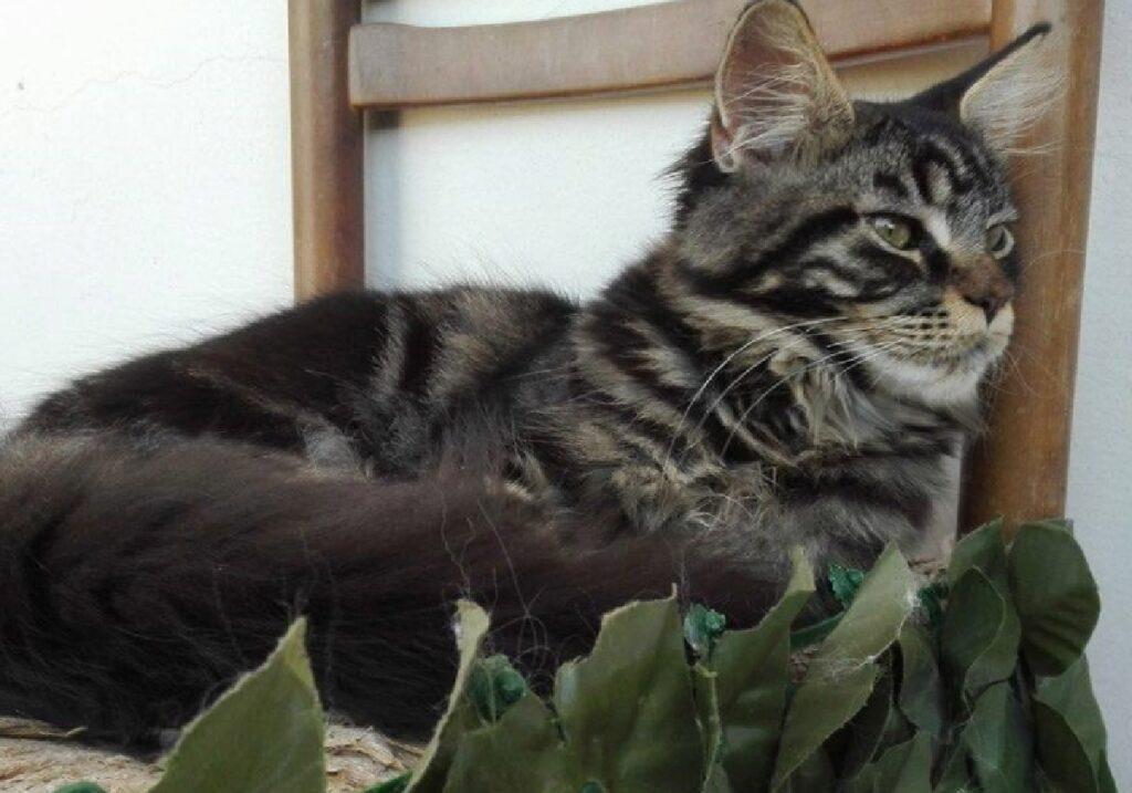 gatto folta coda nera