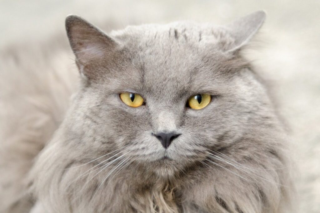 gatto grigio a pelo lungo