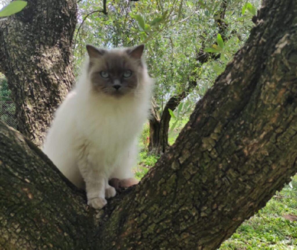 gatto ragdoll in mezzo natura
