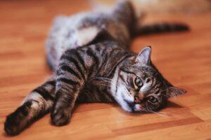 felino dolce pavimento