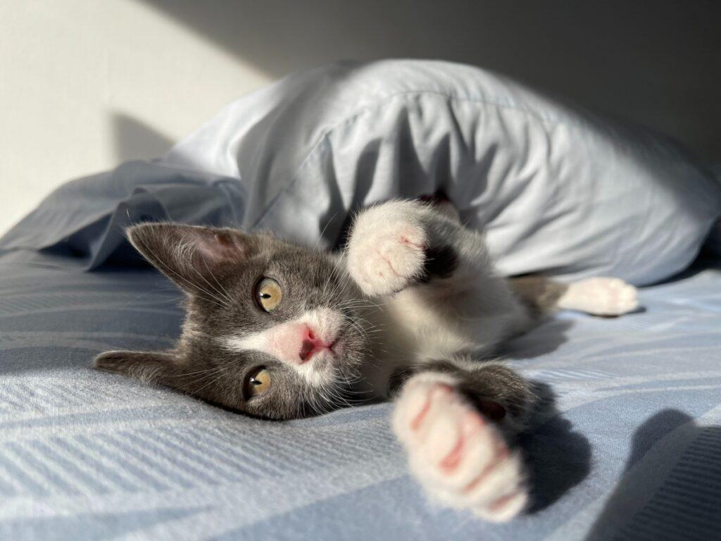gatto vuole giocare